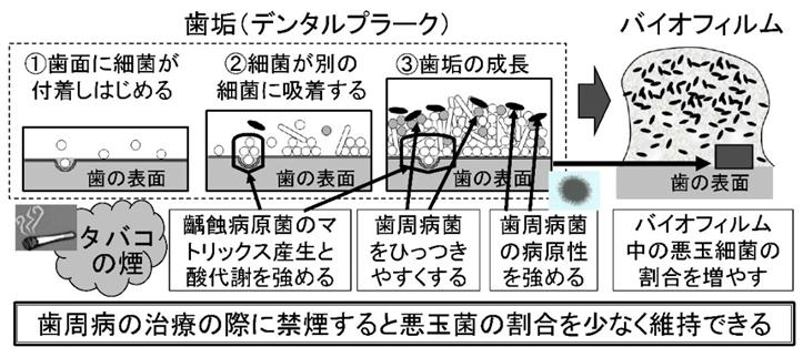 図:歯周病と齲蝕原生細菌への喫煙とニコチンの影響
